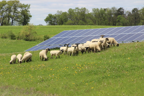 Sheep graze at the site of one of Wisconsin-based Vernon Electric Cooperative's solar arrays. Photo by Vernon Electric Cooperative